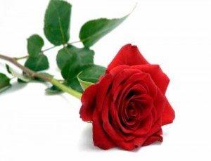 Róże Rodziców